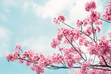 Beautiful cherry blossom sakura in spring time over blue sky.