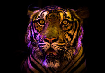 Tiger bengal Look at me black on background