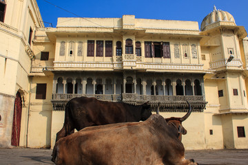 Cows in the city palace. Udaipur.