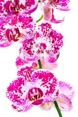 Weiß rosa Phalaenopsis Orchidee - Freisteller