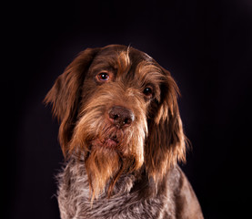 Portrait of breed Drathaar dog on a black background