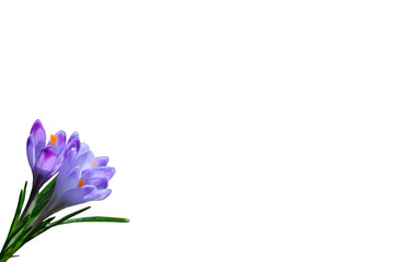 Purple spring flowers crocus isolated on white background
