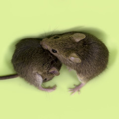 Two cute little gray mouse buried their muzzles into each other on a green background