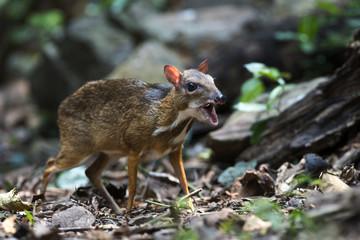 Chevrotain, Lesser Oriental Chevrotain feeding in the forest, In national park of Thailand
