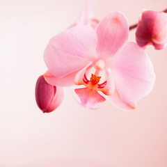 light pink delicate orchid