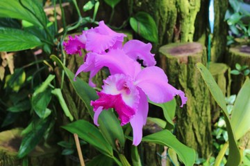 Beautiful violet cattleya orchid. Hanover, Germany, Europe.