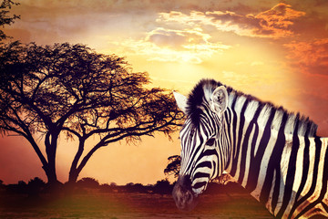 Zebra portrait on african sunset with acacia background. Africa safari Wildlife concept