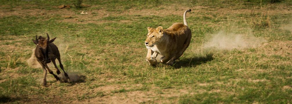 Lion attack nr-1