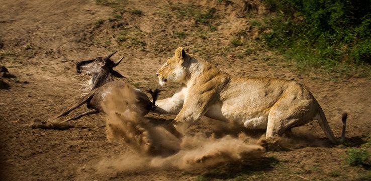 Lion attack nr-2