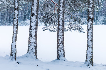Four snow-clad fir trunks in front of a frozen lake in the forest