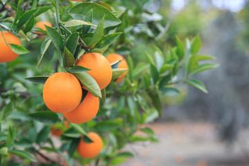 Hanging oranges on branch in the orange garden