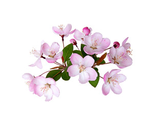 Blooming peach blossom in spring isolated on white background