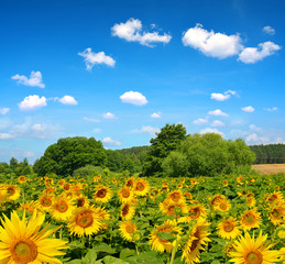 Spring landscape with sunflower field.