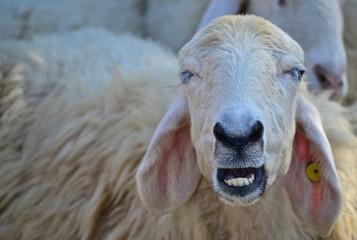 animal sheep wallpaper
