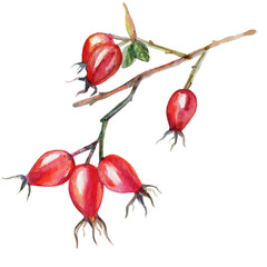 Watercolor briar hand drawn dogrose colorful autumn berry isolated on white background, decorative painting element for design cosmetic, natural medicine, herbal tea, health vegetarian organic food