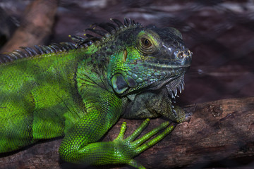 Green iguana in the cage