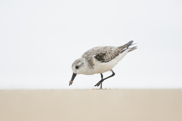 A Sanderling feeds on a sandy beach with its beak covered in sand with a solid white background in soft overcast light.