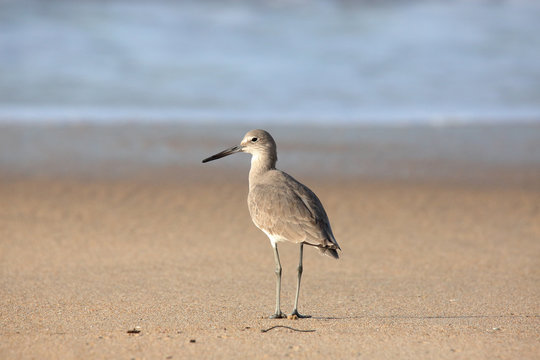 Willet stands on sand at waters edge