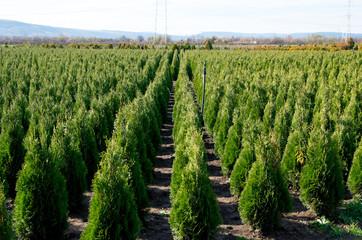 Arborvitae. Goldstrike Cedar. Nursery for many green Thuja in nature. Wall mural