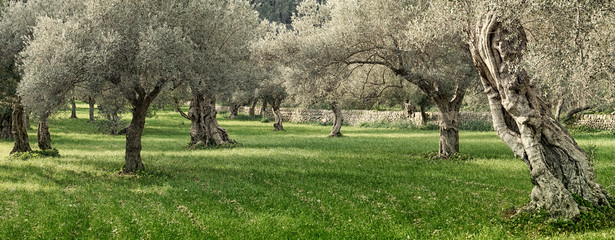 Deurstickers Olijfboom olive grove on the island of Mallorca