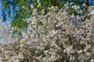Цветущая яблоня весной