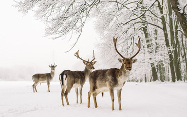 A male of fallow deer with grate antlers standing on the snow
