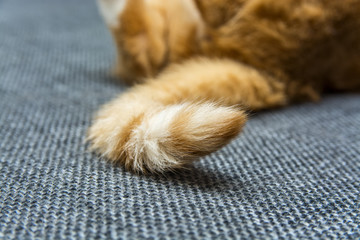 the tail of a red cat  Wall mural