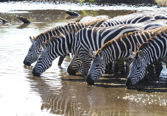 Group of Plains zebras at watering near the big river in the ear