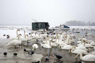 Swans and birds on the frozen river