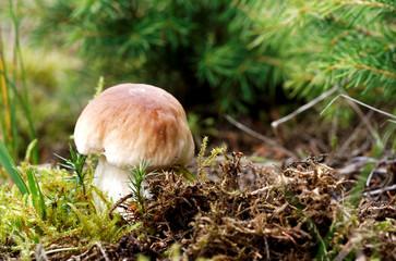 Boletus edulis mushroom in the moss
