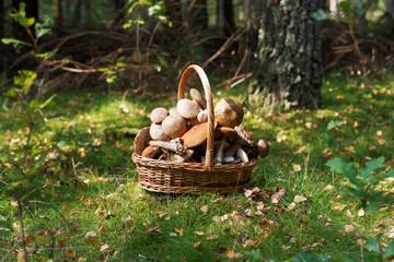 Fresh boletus mushrooms in the basket