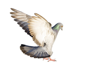 Flying pigeon isolated on white background