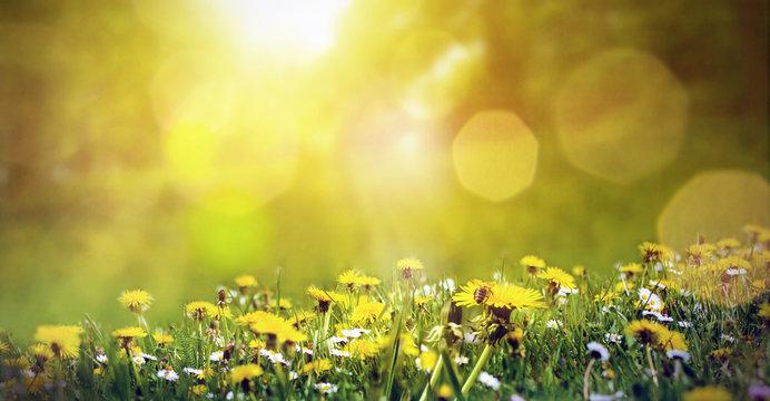 Frühlingswiese mit Löwenzahn und einer Biene im Sonnenschein