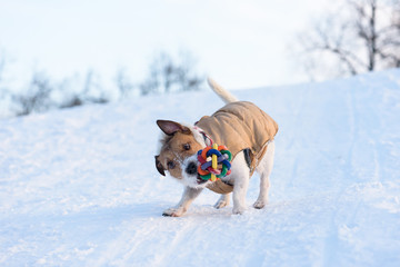 Dog with funny face expression playing with a colorful toy
