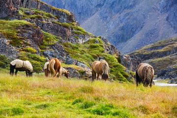 Aluminium Prints Grocery Paarden in het wild in Groenland