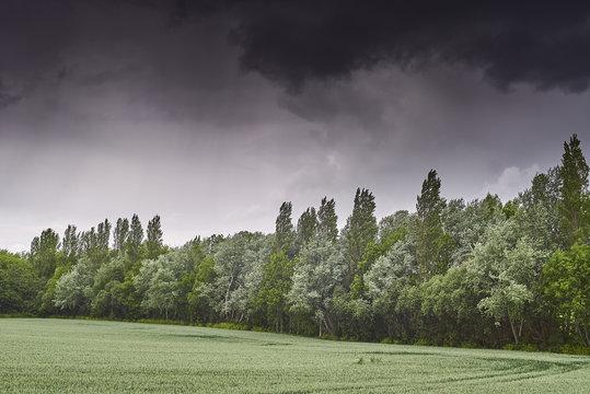 A tree windbreak next to a wheat field on a stormy day