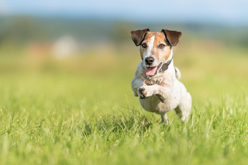 dog running across the meadow - Jack Russell Terrier 9 years old