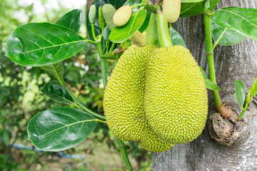 Green jackfruit on tree with leaf ,Local fruit of Thailand