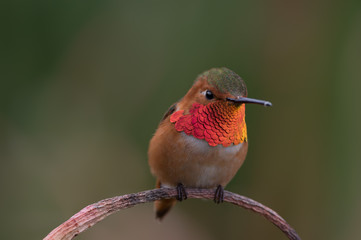 Male Allen's (Selasphorus sasin) hummingbird up close.