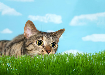 Young tabby cat peaking over grass to viewers right, pupils dilated ready to pounce. Blue background sky with clouds
