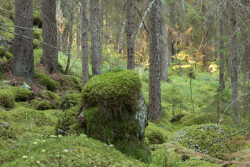 Stones with moss in natural forest