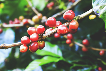 coffee beans on a tree with soft-focus in the background and over light