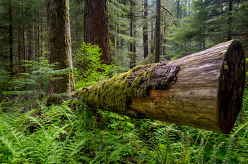 Dead log in Olympic National Park
