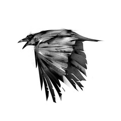 drawn isolated fly black crows