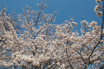 Cherry blossom on Yoshinoyama, Nara, Japan spring landscape
