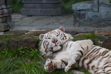 Tigre blanc sur le dos qui se pavane
