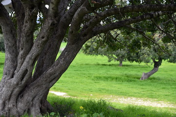 Cyprus landscape in spring with carob trees