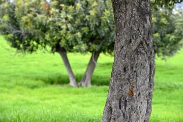 carob trees in cyprus landscape