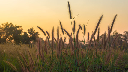 soft silk grass In the morning