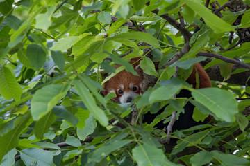 Panda roux caché dans les feuillages